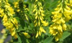 Трава кукольник: лечебные свойства и противопоказания, применение