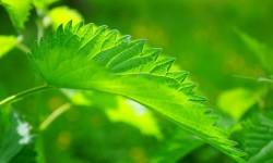 Корень лопуха при геморрое: описание и правила заготовки, лечебные свойства, лечение геморроя корнем лопуха, противопоказания, отзывы