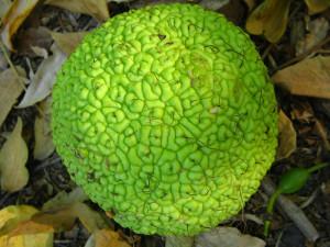 Адамово яблоко для лечения суставов