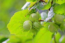 Листья фундука полезные свойства