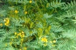 Листья сенны для очищения кишечника
