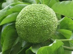 Маклюра (адамово яблоко): лечебные свойства и противопоказания, применение в народной медицине