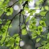 Березовые листья