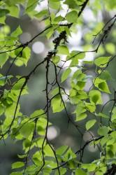 Березовые листья - лечебные свойства и противопоказания