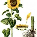 Лечение суставов корнями подсолнуха