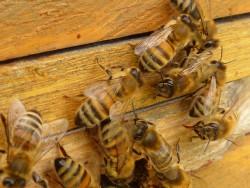 Лечение суставов пчелами