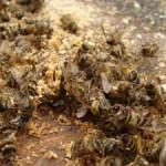 Лечение суставов пчелиным подмором