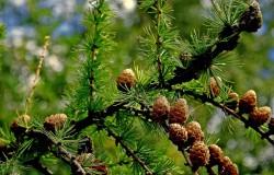 Лиственница сибирская - лечебные свойства и противопоказания