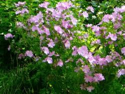 Мальва лесная (просвирник лесной) - лечебные свойства и противопоказания