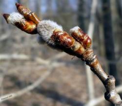 Почки осины - лечебные свойства