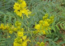 Трава сенна (кассия остролистная): лечебные свойства и противопоказания, применение, рецепты