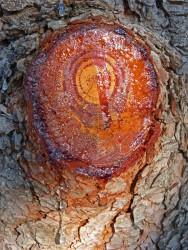 Целебный подарок сосны – живица: лечебные свойства и противопоказания